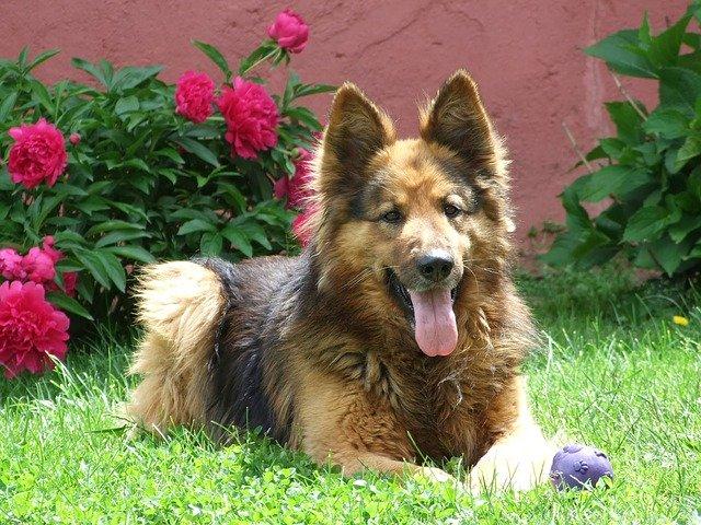 pes na zahradě
