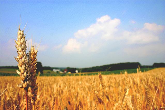 Pšenice je součástí jídelníčku lidstva již tisíce let